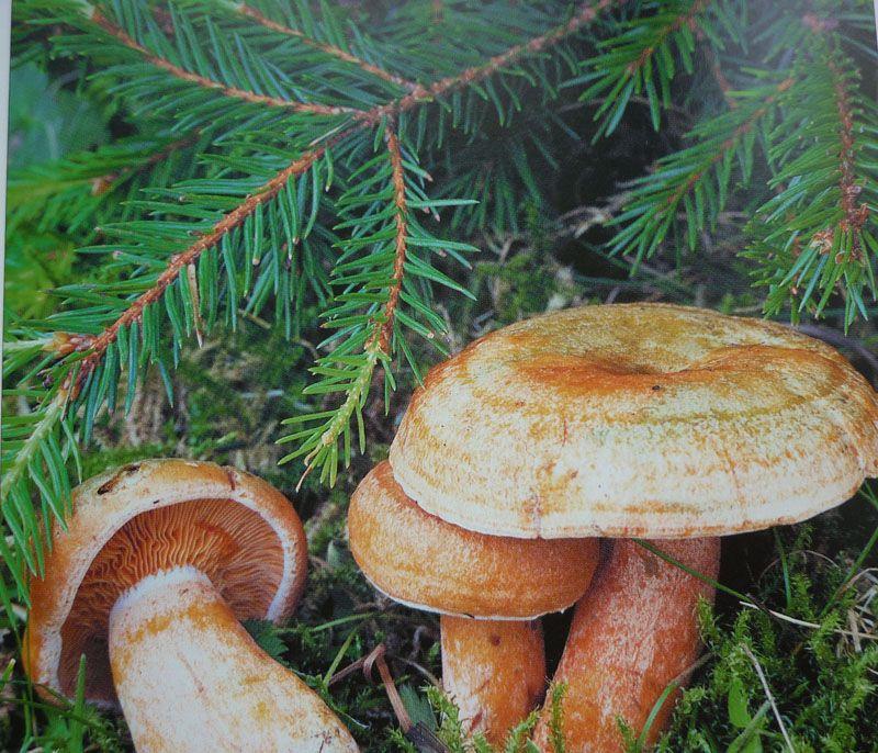 белые грибы в конце мая
