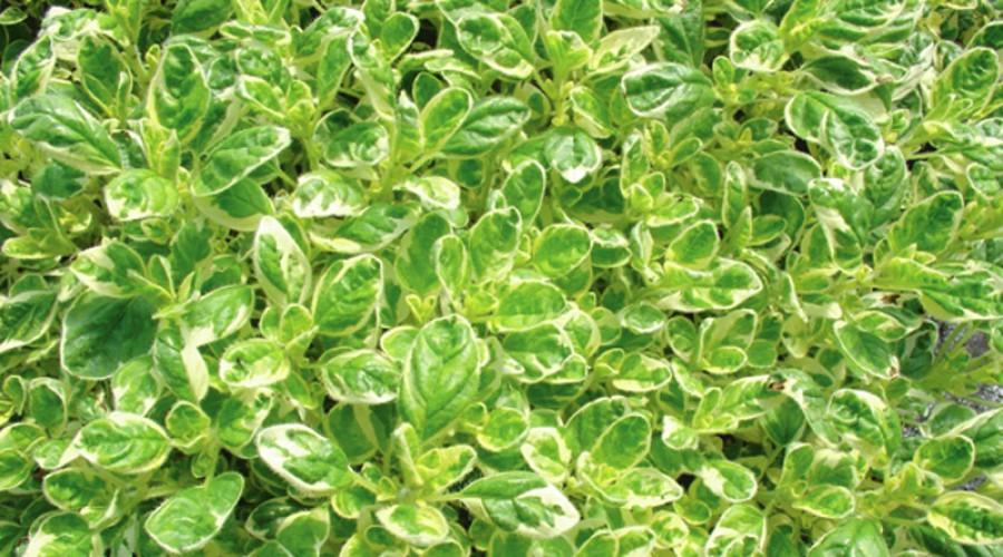 матрешка растение фото